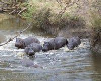多匹河马在碰撞入从土地的河的水中部分地淹没了 库存照片