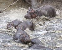 多匹河马特写镜头在碰撞入从土地的河的水中部分地淹没了 库存照片