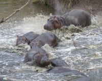 多匹河马特写镜头在碰撞入从土地的河的水中部分地淹没了 免版税库存图片
