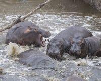 多匹河马特写镜头在水中部分地淹没了在碰撞以后入从土地的河 免版税库存图片