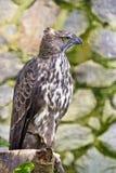 多变的老鹰鹰 库存照片