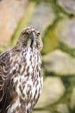 多变的老鹰鹰 免版税库存照片