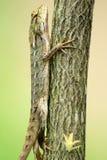 多变的蜥蜴结构树 库存图片
