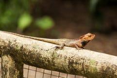 多变的蜥蜴 免版税图库摄影