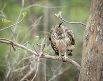 多变的鹰老鹰恼怒的神色在Tadoba Andhari老虎储备,马哈拉施特拉,印度的 免版税库存图片