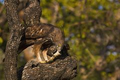多变的鹰老鹰, Nisaetus cirrhatus,潘纳老虎储备,中央邦,印度 库存照片