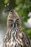 多变的鹰老鹰- Spizaetus cirrhatus 库存图片
