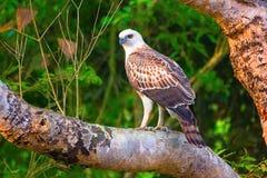 多变的鹰老鹰Juv, Nisaetus cirrhatus, Dudhwa老虎储备,北方邦 库存图片