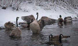 多只加拿大鹅在有一被伸出的翼的多雪的河 免版税库存照片