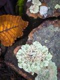 多叶的地衣和棕色叶子在地板上 图库摄影