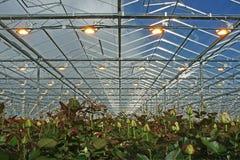 更多和利用人为growthlight的更强的玫瑰 库存图片