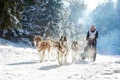 多壳拉雪橇狗赛跑 免版税库存图片