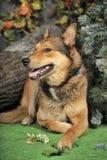 多壳混杂与一只德国牧羊犬 免版税库存照片
