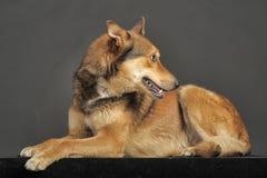 多壳混杂与一只德国牧羊犬 库存照片