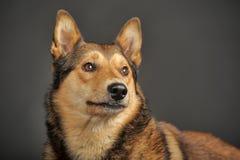 多壳混杂与一只德国牧羊犬 免版税图库摄影