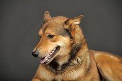 多壳混杂与一只德国牧羊犬 免版税库存图片