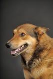 多壳混杂与一只德国牧羊犬 库存图片