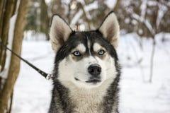 多壳的品种狗画象在冬天 免版税库存照片