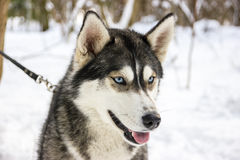 多壳的品种狗画象在冬天 免版税库存图片