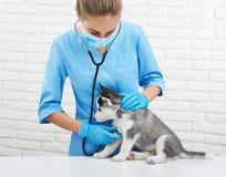 多壳的小狗女性兽医听的心跳  库存照片