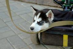多壳的开会可爱的小的小狗在三轮车树干的  免版税图库摄影
