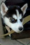 多壳的开会可爱的小的小狗在三轮车树干的  库存图片
