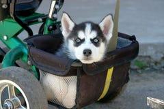 多壳的开会可爱的小的小狗在三轮车树干的  图库摄影