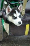 多壳的开会可爱的小的小狗在三轮车树干的  免版税库存照片