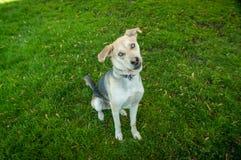 多壳的拉布拉多笨蛋与蓝眼睛混合了品种狗 库存图片