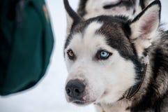 多壳的拉雪橇狗在Inari 库存图片