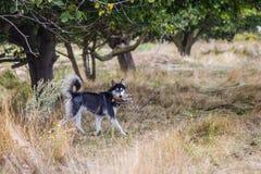 多壳的狗†‹â€ ‹是猎人 库存图片
