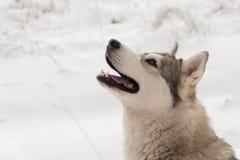 多壳的狗在冬天森林里室外在雪 库存图片