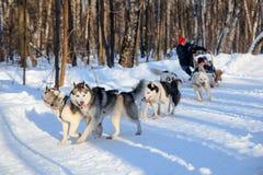 多壳的狗在晴朗的冬天森林拉扯爬犁 免版税库存照片