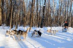 多壳的狗在晴朗的冬天森林拉扯爬犁 图库摄影