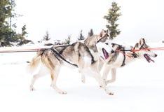 多壳的狗爬犁竞争 免版税图库摄影