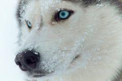 多壳的西伯利亚人 免版税图库摄影
