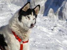 多壳的西伯利亚人 免版税库存照片