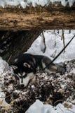 多壳的西伯利亚人 图库摄影