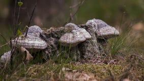 多孔菌在波兰森林里 库存照片