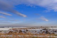 多小山农村冬天风景:亚尔他Murgia国家公园 吃草在多雪的领域的绵羊和山羊群  意大利,普利亚 免版税库存图片