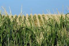 多小山的玉米田 免版税库存图片