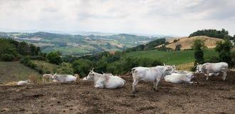 多小山风景的母牛牧群在托斯卡纳意大利 免版税库存图片