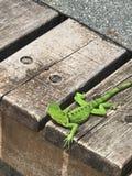 多巴哥鬣鳞蜥 库存图片