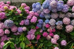 多彩多姿的八仙花属花背景在庭院里 库存照片