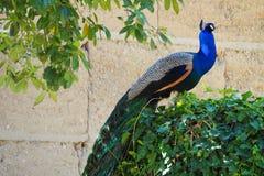 多彩多姿的孔雀在卡斯特尔del Remei,莱里达省湖  免版税库存图片