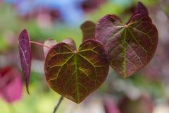 多彩多姿的心形的叶子 库存照片