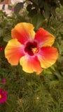 多彩多姿的木槿 免版税库存图片
