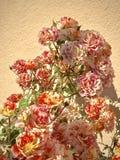 多彩多姿的桃子和白色玫瑰开花突出了对灰泥墙壁 免版税库存照片