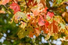 多彩多姿的槭树在一棵树离开在一晴朗的秋天天 库存图片