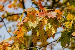 多彩多姿的槭树在一棵树离开在一晴朗的秋天天 免版税库存照片